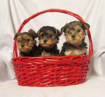 Three Yorkie Poo Puppies