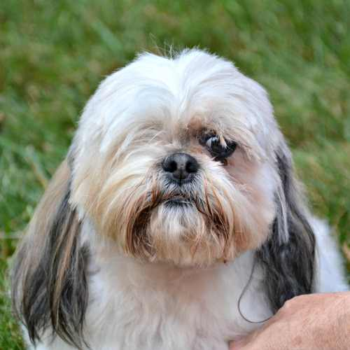 Gold and White Female Shih Tzu available for adoption.
