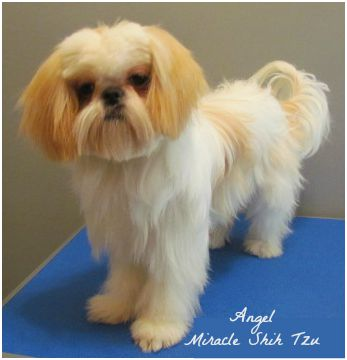 White and Gold Shih Tzu