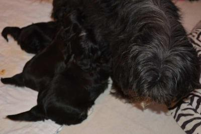 Five Year Old Clara with her three Black Puppies:  Notice the fine streaks of gray on her back.