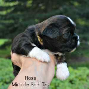 Puppy pictured is a brindle Shih Tzu