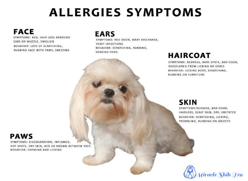 What Can I Do About My Shih Tzu Itchy Skin