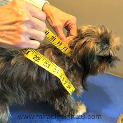 Measure the neck of your Shih Tzu before you purchase a dog costume.