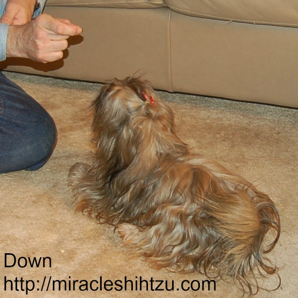 Shih Tzu Training:  Teaching the Down Command