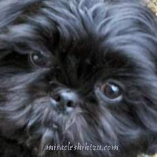 About Shih Tzu Eye Care
