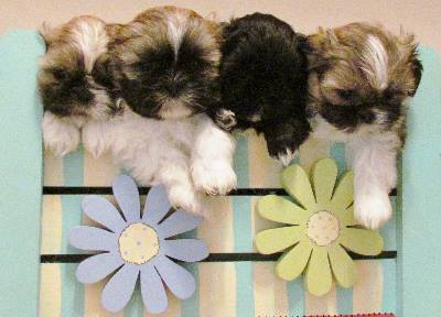 All About the Shih Tzu: Your Ultimate Guide to Understanding