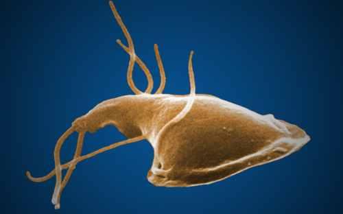 Giardia organism