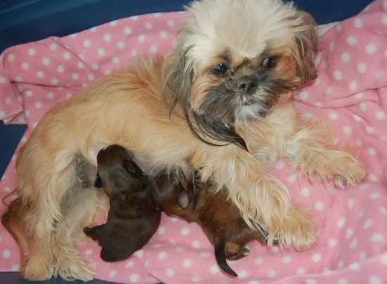 Shih Tzu Hair Color Changes Wonder Why These Changes Occur