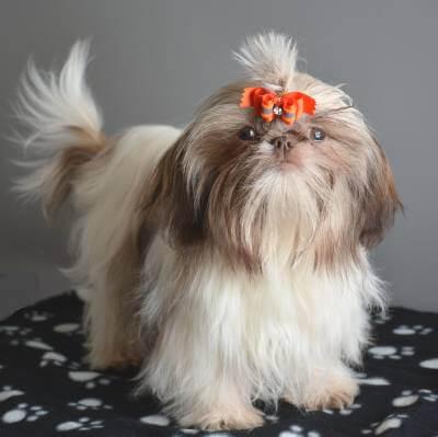Male Shih Tzu Dog named Ketikan Jone
