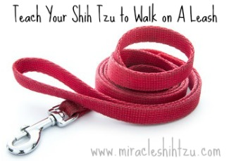 Teach your Shih Tzu to Walk on a Leash