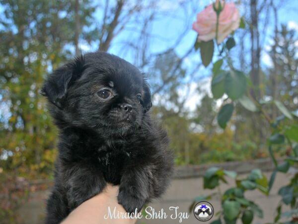 Shih Tzu Prapso Puppy For Sale