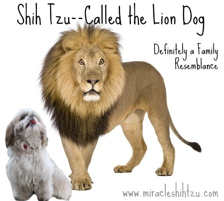 Shih Tzu Facts:  Lion Dog