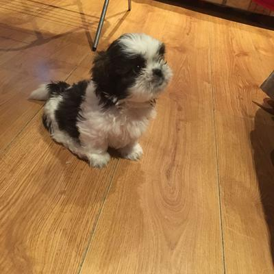 Little Black Brown And White Shih Tzu