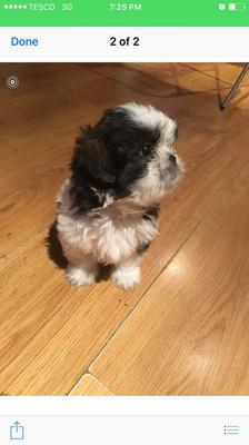 Picture Two of my Shih Tzu Puppy