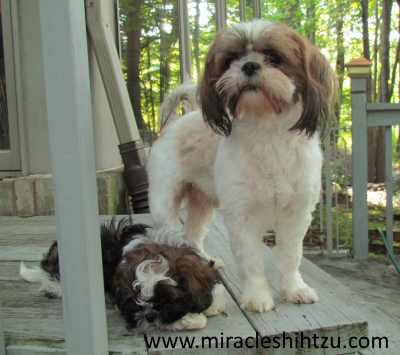 Little Black Brown And White Shih Tzu Girl