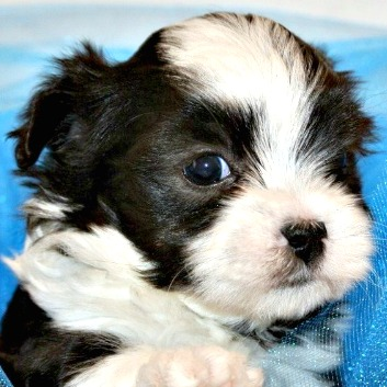 Black and White Mal-Shi Puppy named Aspen