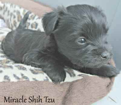 Black Maltese - Shih Tzu Hybrid
