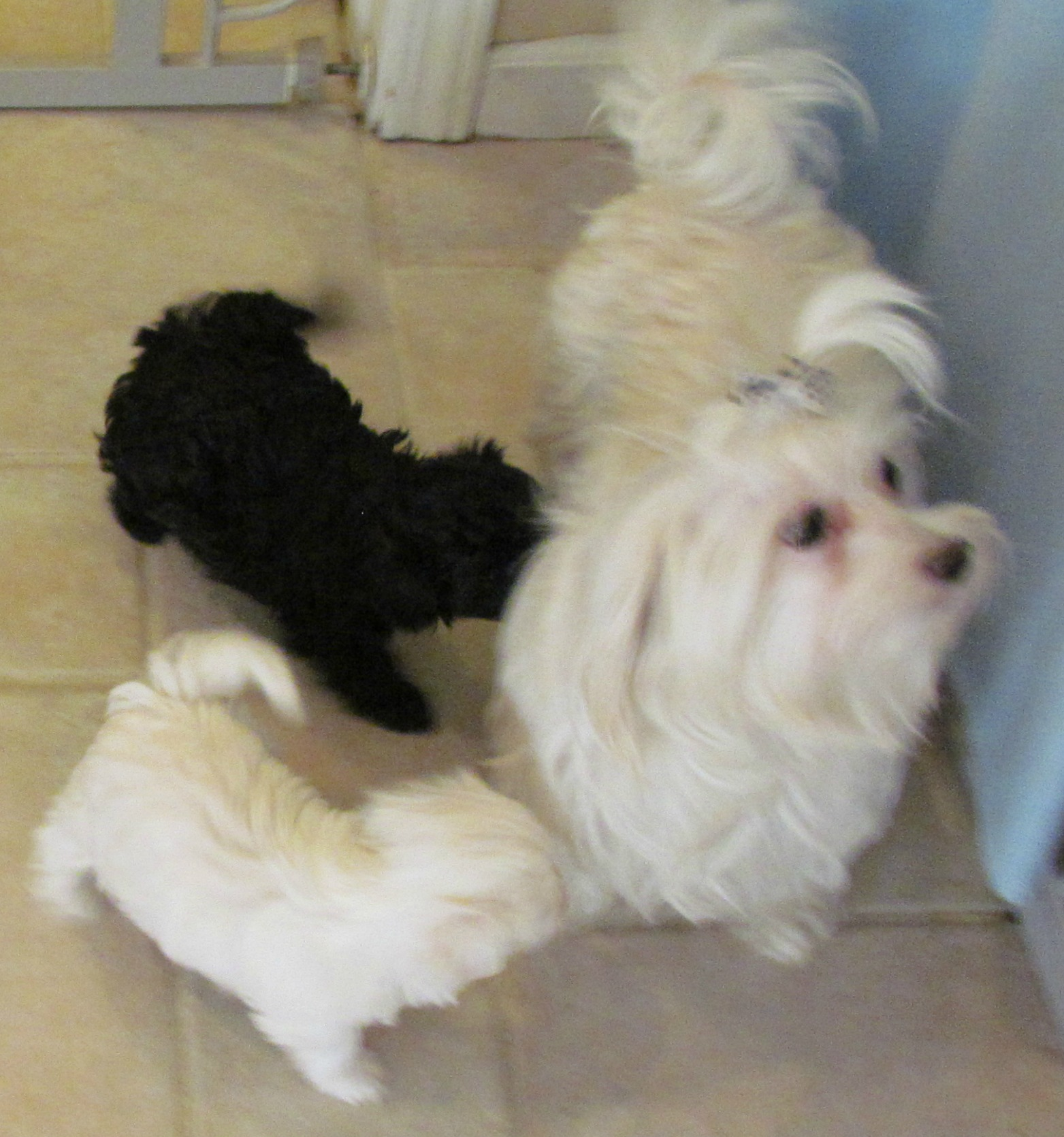 Maltese Dame and her malti-poo puppies