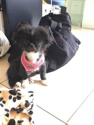 My Beautiful Prapso Shih Tzu Puppy