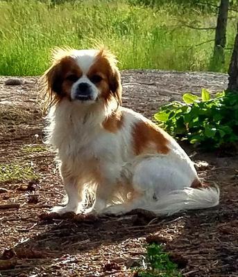 Minnie, Our Beautiful Prapso Puppy