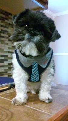 Huey The Shih Tzu Rescue Dog