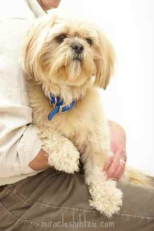 Renal Dysplasia in Shih Tzu Dogs