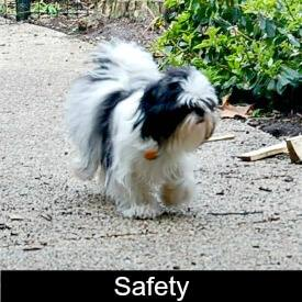 Shih Tzu Safety