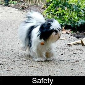 Shih Tzu Safety