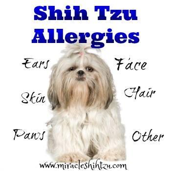 Shih Tzu Allergies Link