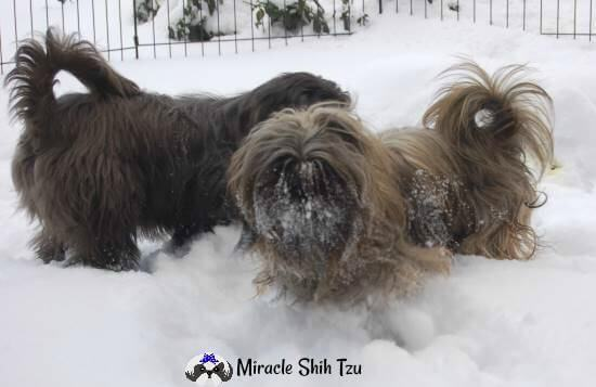 Two Shih Tzu dogs out playing in the deep snow.
