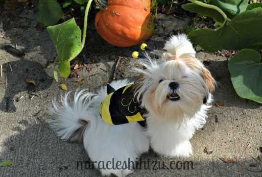 Shih Tzu Dog Costume:  Bumblebee