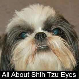 Shih Tzu eye problems