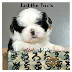 Shih Tzu Facts Link