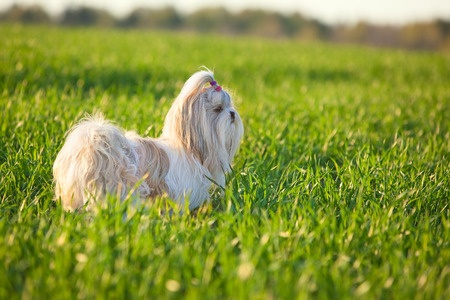 All About The Shih Tzu Your Ultimate Guide To Understanding The Breed