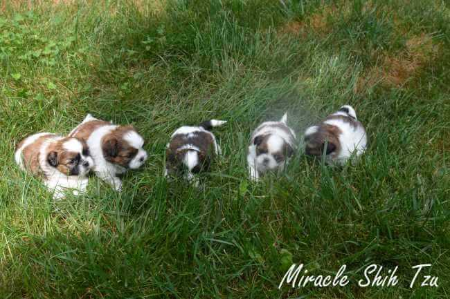 Five young Shih Tzu puppies are in the grass.