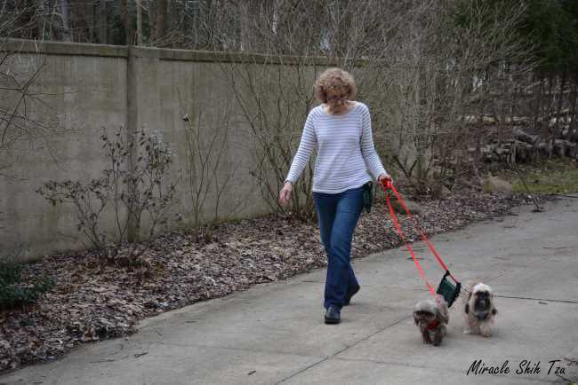 A woman is walking her two Shih Tzu dogs in early spring