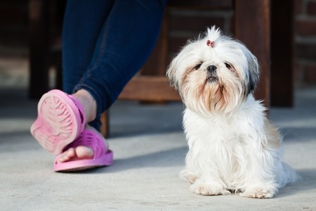 Shih Tzu Facts:  Shih Tzu Temperament