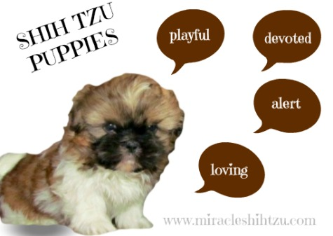 Shih Tzu Puppies Personality Traits