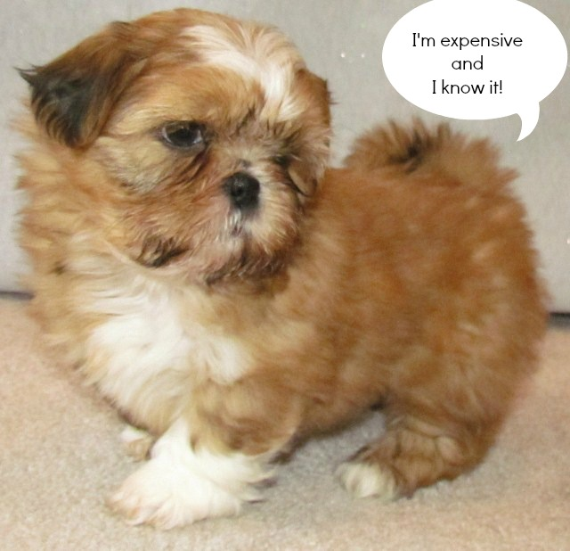 Shih Tzu Puppy Love