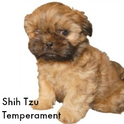 Shih Tzu Temperament Link