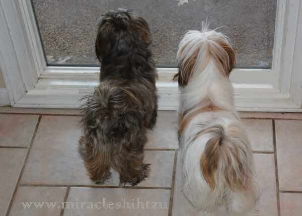 Shih Tzu Dogs make great watch dogs.