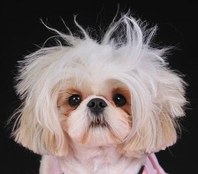 Shih Tzu Haircuts Miracle Shih Tzu