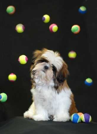 Shih Tzu Dog surrounded by tennis balls.