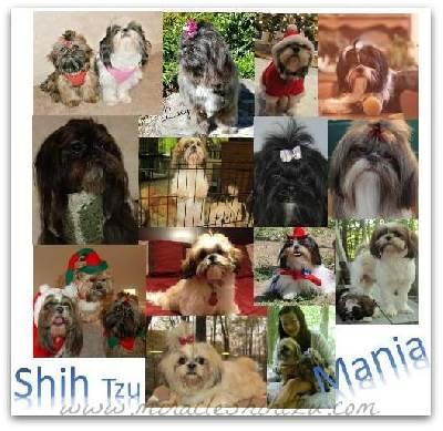 Shih Tzu Picture Collage