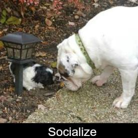 Socialize your Shih Tzu Link