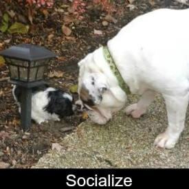 Socialize your Shih Tzu Link