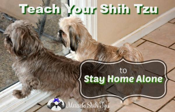 How to Train your Shih Tzu to stay home alone.