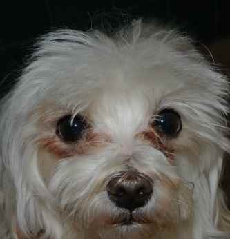 Tear Stains on a Maltese Dog