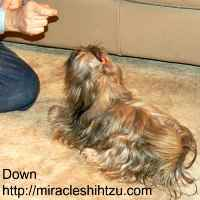 Teach your Shih Tzu to Lie Down