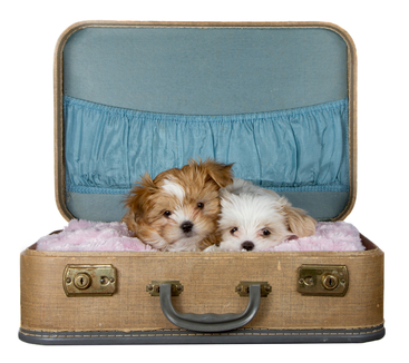 Traveling with a puppy:  Two pups in a suitcase ready to go.
